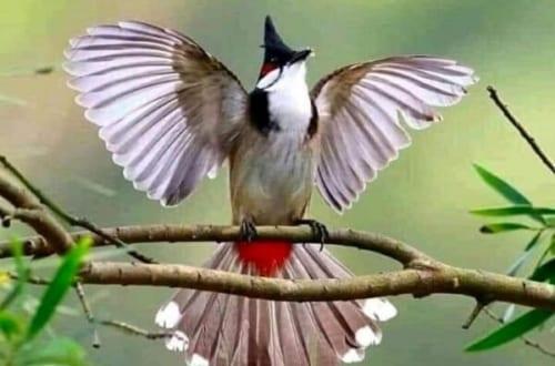 Chim Chào Mào Và 1001 Điều Về Nó (Bí Kíp Chăm Chim Thi Đấu)